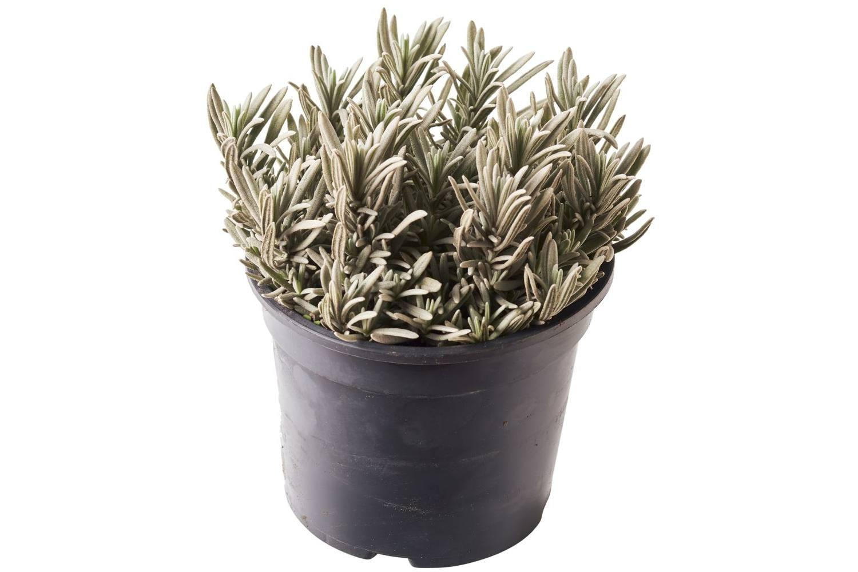 Lavendel In Grote Pot.Bio Lavendel In Grote Pot Doos 6 Stuks 700854 Van Gelder Bio